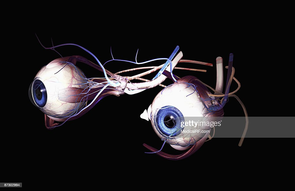 External Anatomy Of The Eyes Stock Illustration Getty Images