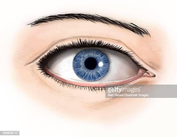 External anatomy of the human eye.