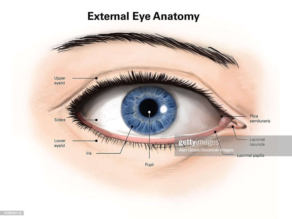 External Anatomy Of The Human Eye Stock Illustration | Getty Images