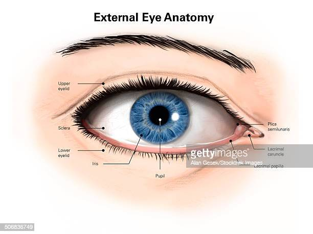 External anatomy of the human eye (with labels).