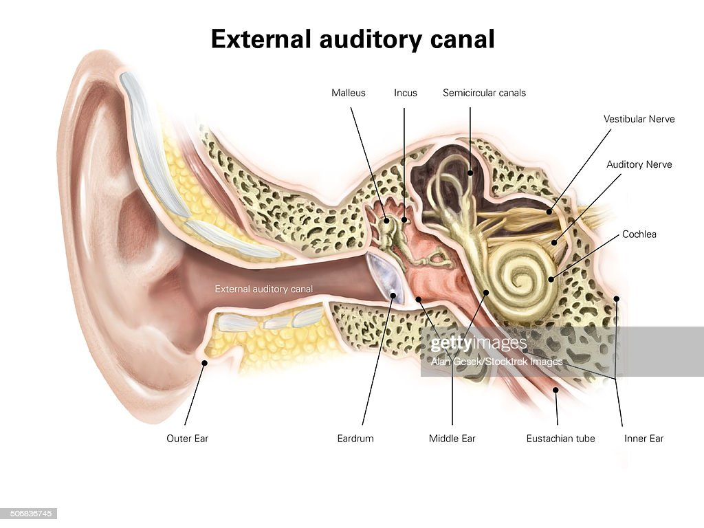 Middle Ear Stock Illustrations And Cartoons | Getty Images