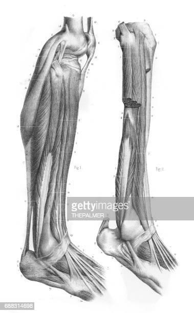 External leg region anatomy engraving 1866