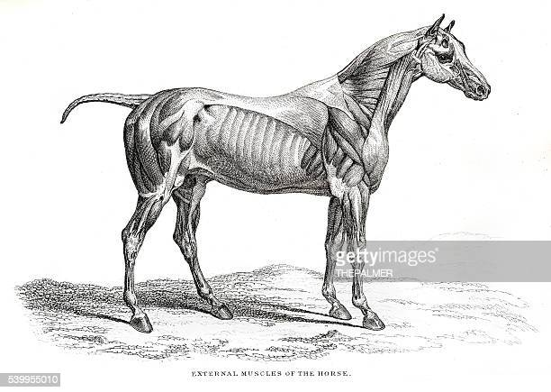 external muscles of the horse - mare stock illustrations, clip art, cartoons, & icons