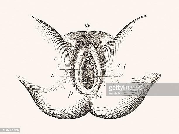 ilustraciones, imágenes clip art, dibujos animados e iconos de stock de externo los órganos reproductivos médicos medio siglo 19 - masturbacion