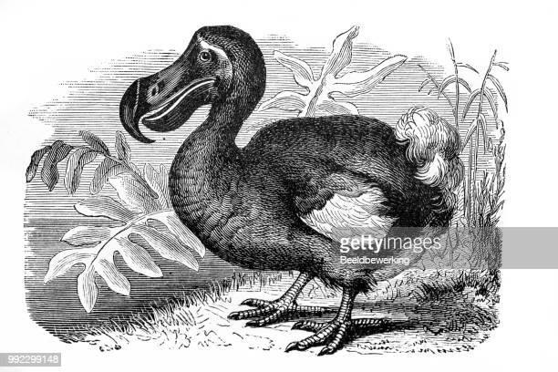 ilustrações, clipart, desenhos animados e ícones de dodo extinto do francês livro em 1887 - 1887