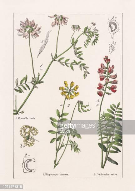 ilustraciones, imágenes clip art, dibujos animados e iconos de stock de faboideae, fabaceae, onobrychis, cromolitógrafo, publicado en 1895 - florescencia
