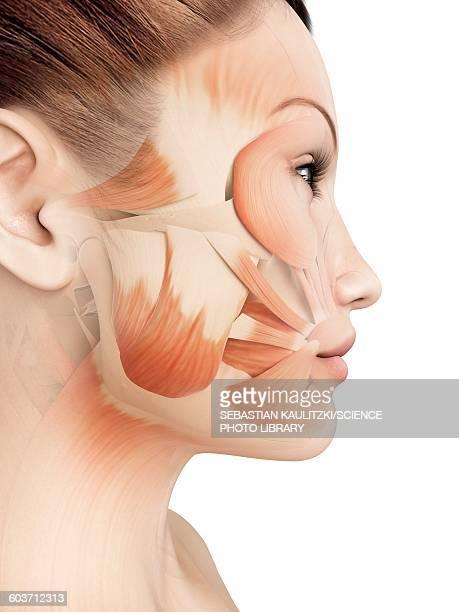 illustrazioni stock, clip art, cartoni animati e icone di tendenza di facial muscles, illustration - human face