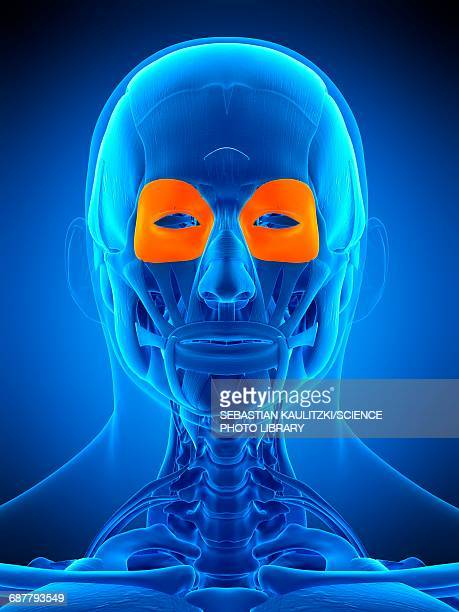 Orbicularis Oculi Muscle Stock Illustrations And Cartoons | Getty Images
