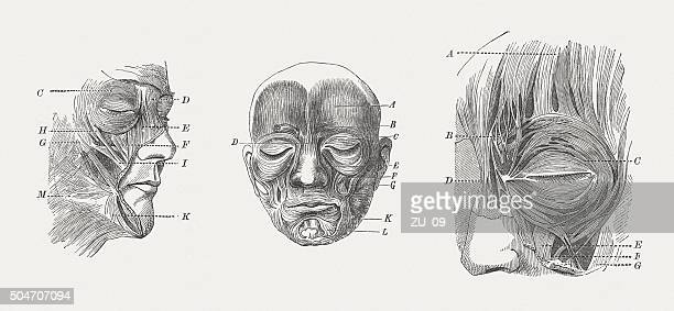 Facial muscles of man, wood engravings, published in 1873