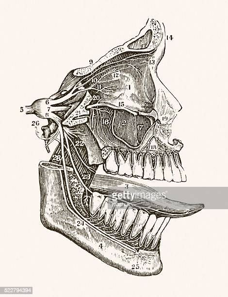 facial nerves 19 century medical illustration - anatomical model stock illustrations, clip art, cartoons, & icons