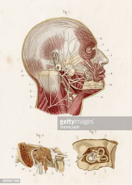 Ilustraciones de Stock y dibujos de Nervio Facial | Getty Images