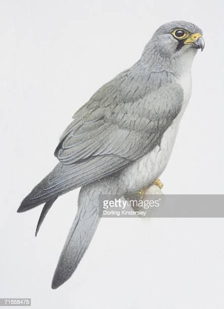 ilustrações de stock, clip art, desenhos animados e ícones de falco araea, sooty falcon perched on a tree branch. - falcon bird