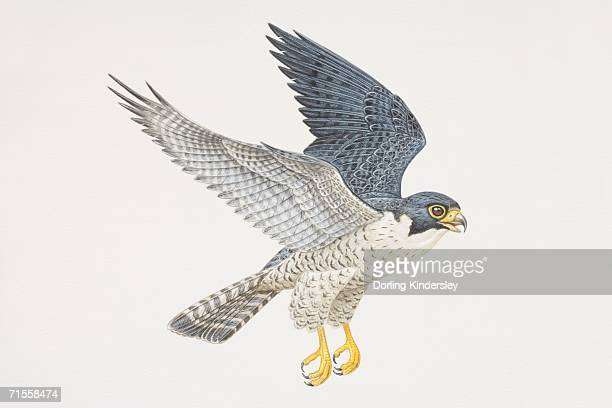 falco peregrinus, peregrine falcon in flight, side view. - talon stock illustrations