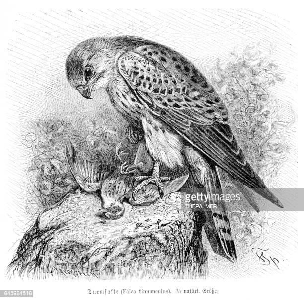 ilustrações de stock, clip art, desenhos animados e ícones de falcon engraving 1892 - falcon bird