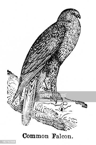 falcon engraving - peregrine falcon stock illustrations, clip art, cartoons, & icons