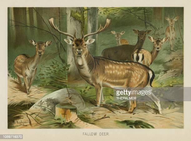 ilustrações de stock, clip art, desenhos animados e ícones de fallow deer chromolithograph 1896 - litografia