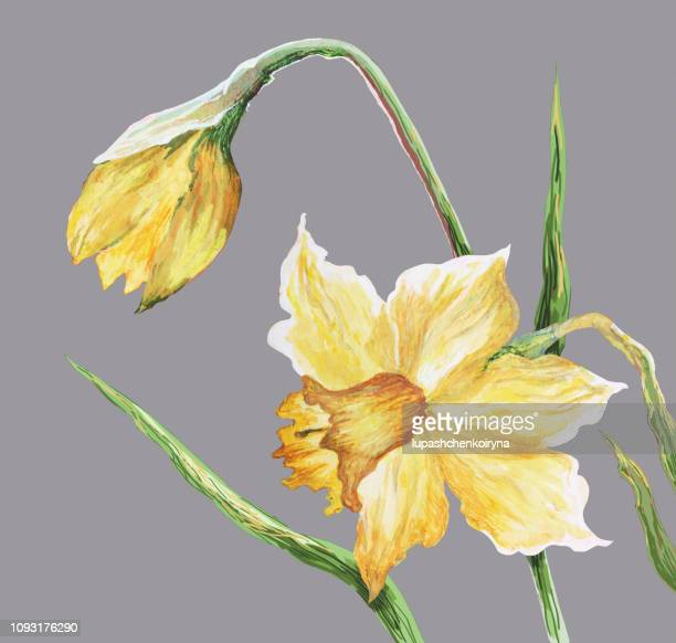 fashionable illustration modern art work my original painting with watercolors on paper spring flowers yellow daffodils - daffodil stock illustrations, clip art, cartoons, & icons