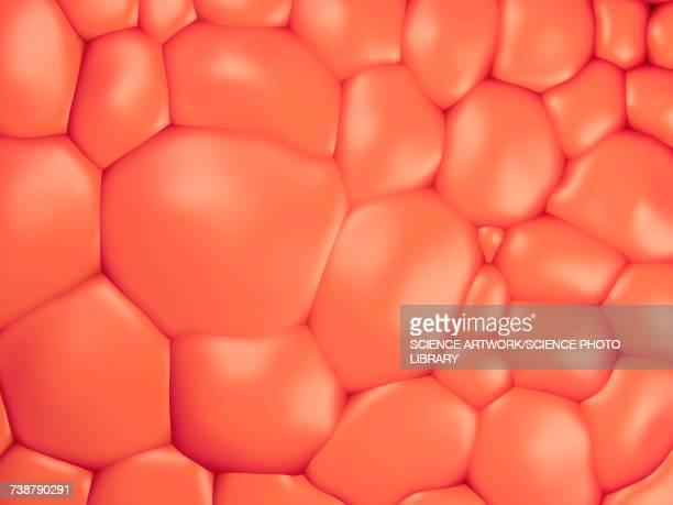 fat cells - biology stock illustrations