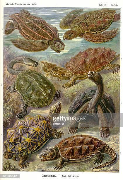 ilustrações, clipart, desenhos animados e ícones de fauna kdn t089 testudo-chelonia - réptil