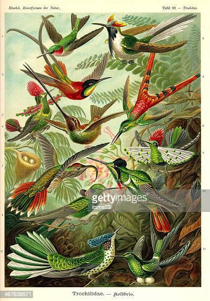fauna kdn t099 trochilus - trochilidae - botany stock illustrations