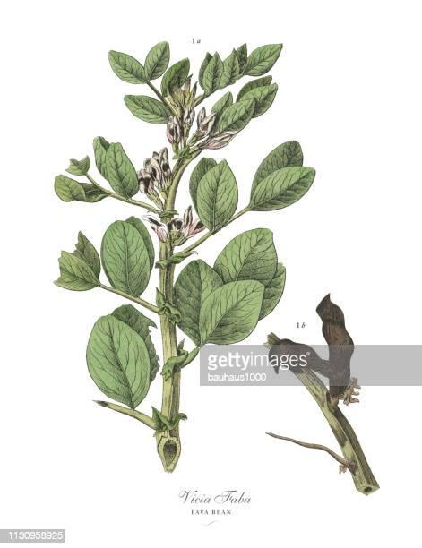 fava bean, legumes, victorian botanical illustration - broad bean stock illustrations, clip art, cartoons, & icons