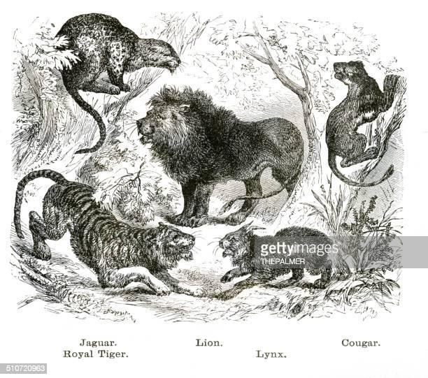 ilustraciones, imágenes clip art, dibujos animados e iconos de stock de felines grabado ilustración - jaguar