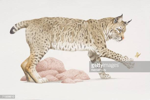 felis rufus, bobcat trying to catch butterfly with its paw, side view. - lynx stock illustrations, clip art, cartoons, & icons