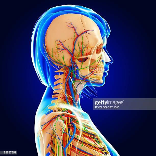 female anatomy, artwork - あご点のイラスト素材/クリップアート素材/マンガ素材/アイコン素材