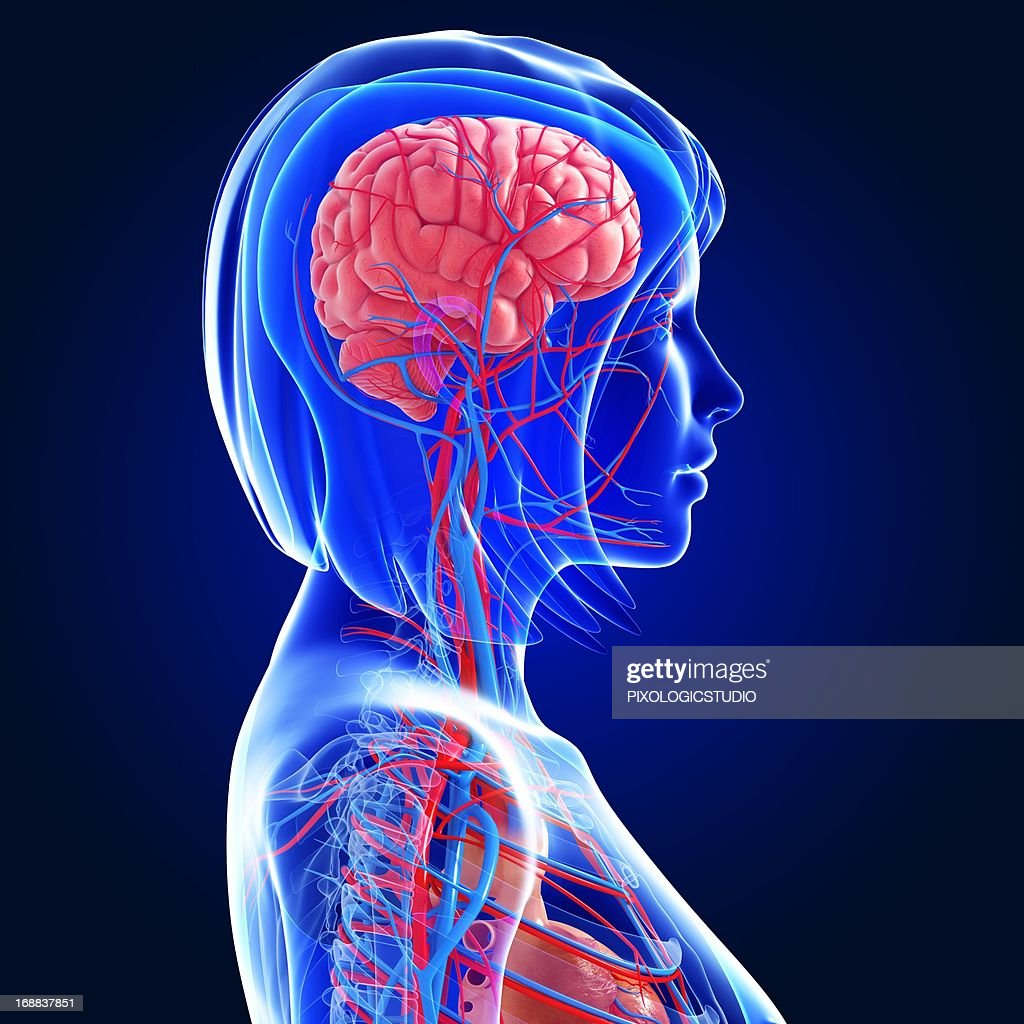 Female Anatomy Artwork Stock Illustration Getty Images
