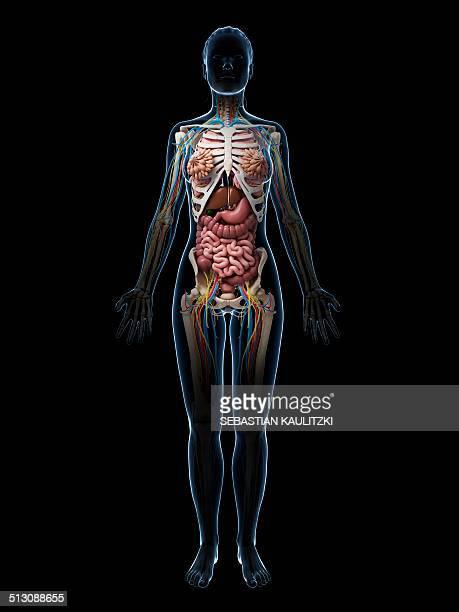 female anatomy, artwork - human small intestine stock illustrations