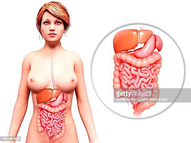 female anatomy, computer artwork. - human intestine stock illustrations