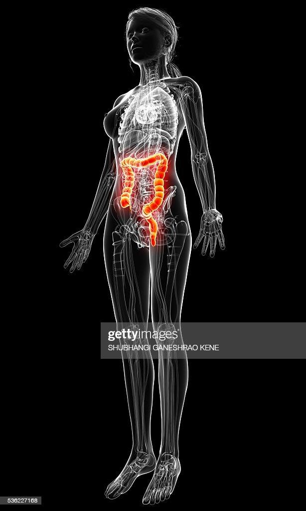 Female Anatomy Computer Artwork Stock Illustration | Getty Images