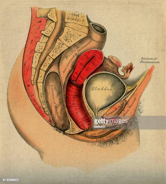 female anatomy diagram - bladder stock illustrations, clip art, cartoons, & icons