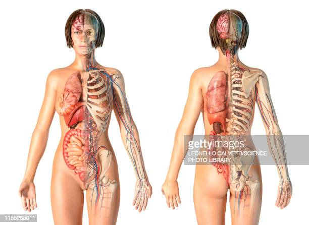 female anatomy, illustration - anatomy stock illustrations
