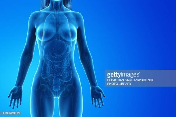 female anatomy, illustration - digitally generated image stock illustrations