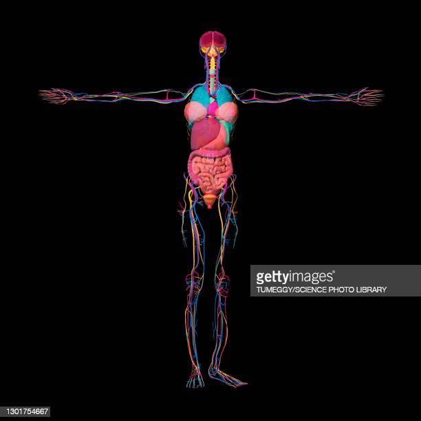 female anatomy, illustration - order stock illustrations