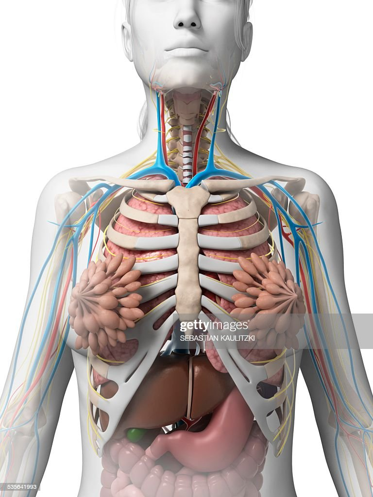 Female Anatomy Illustration Stock Illustration | Getty Images