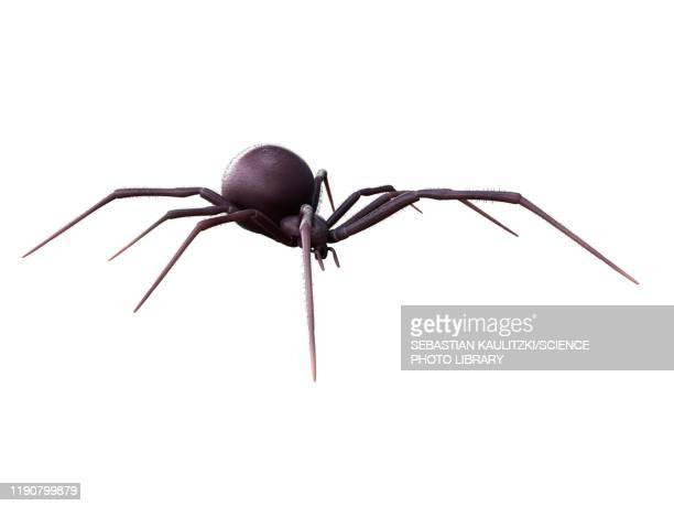 female black widow spider, illustration - spooky stock illustrations