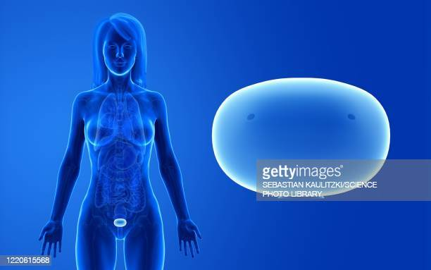 female bladder, illustration - bladder stock illustrations