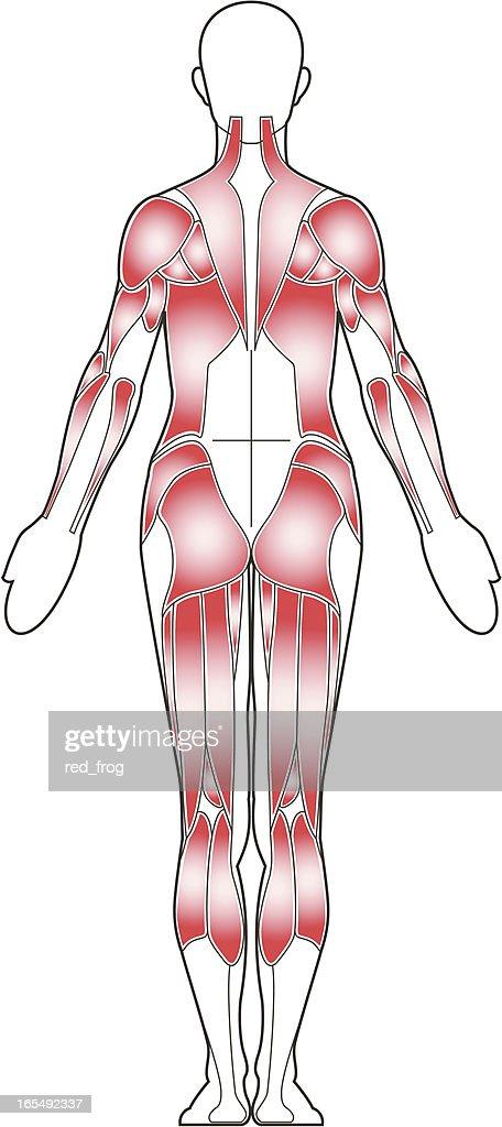 Female body, back view