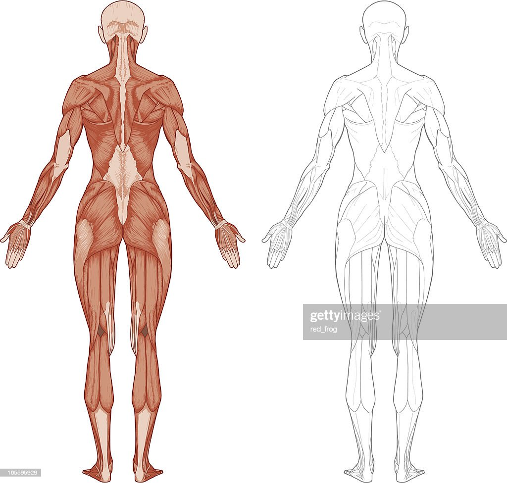 Female Body Muscles Vector Art Getty Images