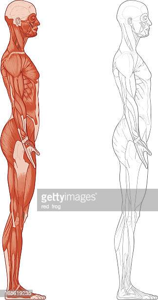 female body, muscles - braun stock illustrations