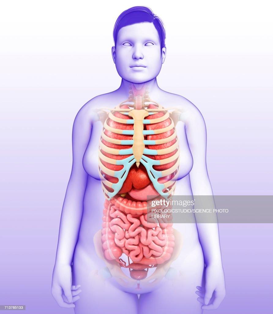 Female Body Organs Illustration Stock Illustration | Getty Images