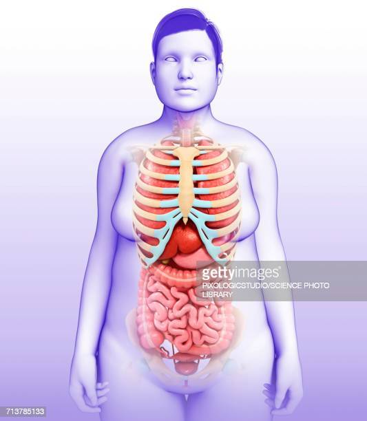 Female Internal Organs Illustration Stock Illustration | Getty Images