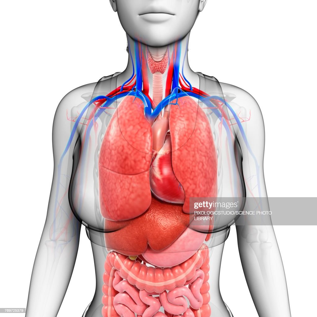 Female Body Organs Illustration Stock Illustration | Getty Images