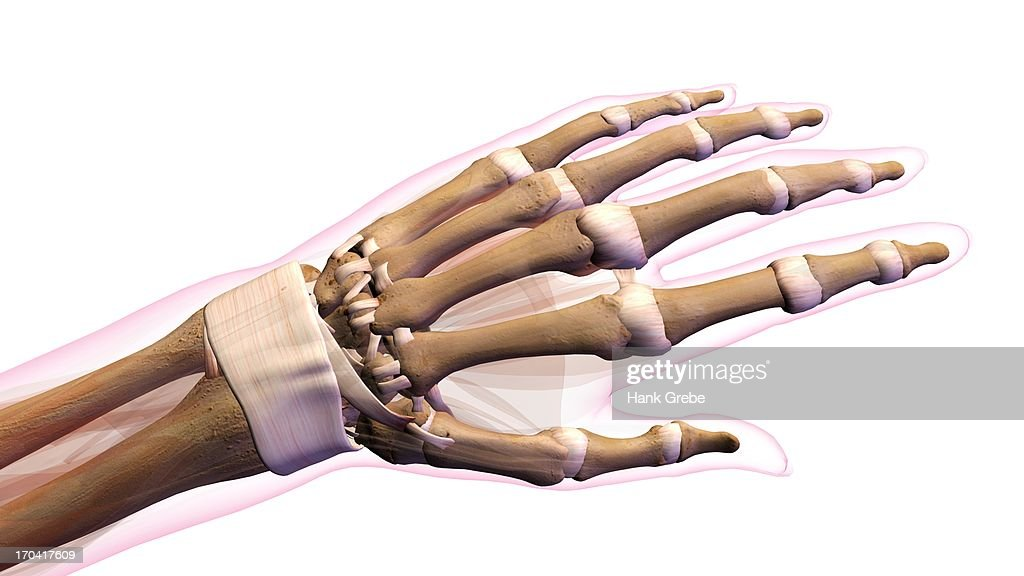 Female Bones Of Hand Wrist Thumb And Fingers Anatomy Back Posterior ...
