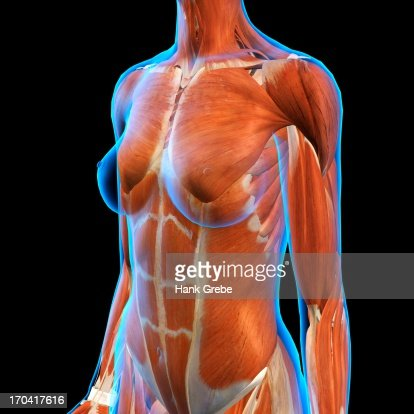 Female Chest And Abdominal Muscles Anatomy In Blue Xray Outline Full ...