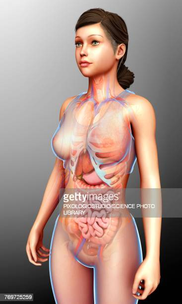 Female digestive system, illustration