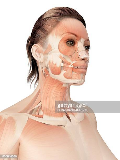 Facial Muscles Anatomy Stock Illustrations and Cartoons | Getty Images