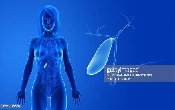 female gallbladder, illustration - bladder stock illustrations